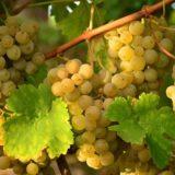 Описание винограда Валентина