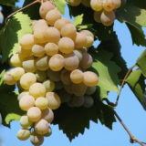 сорт винограда Бьянка