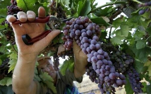 Виноград Низина уход