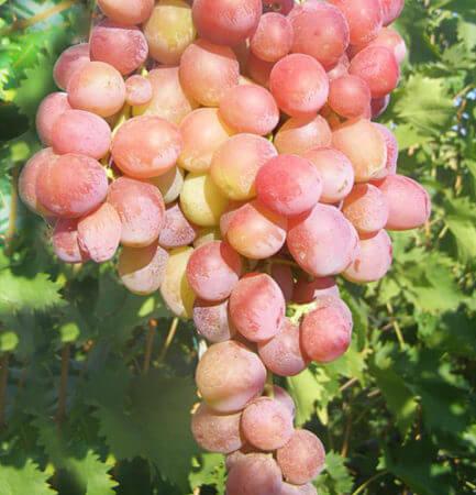 описание сорта винограда дюжина