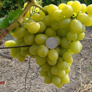 виноград сорта Сенека