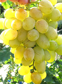 виноград сорта Сенека особенности