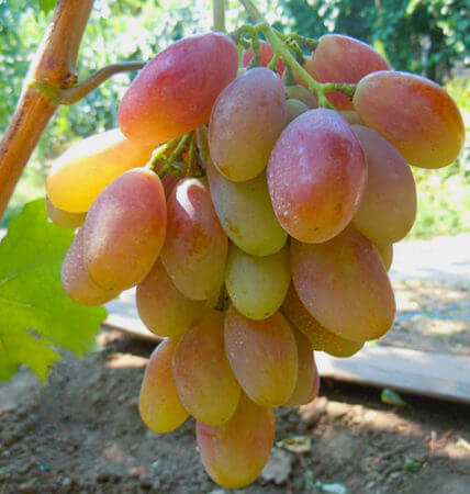 виноград диксон описание сорта