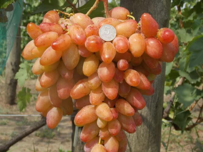 виноград гф диксон