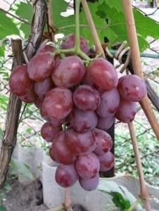 сорт винограда дюжина