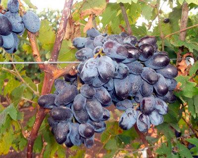 виноград эталон павловского