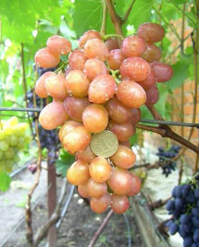 сорт винограда хамелеон