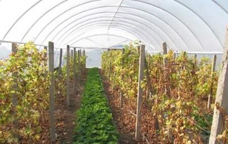 vinogradvteplice