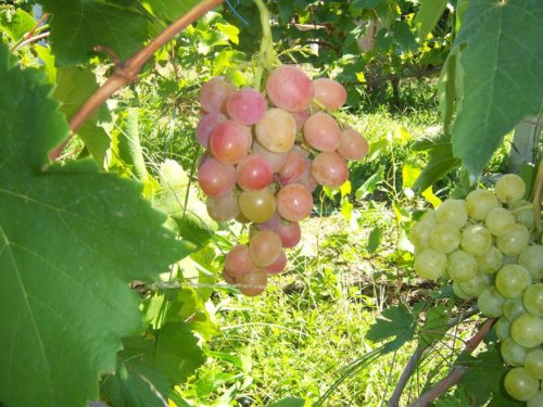 Виноград сорта Азалия