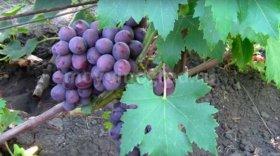 виноград заря несвятая