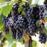 Почему сохнет виноград