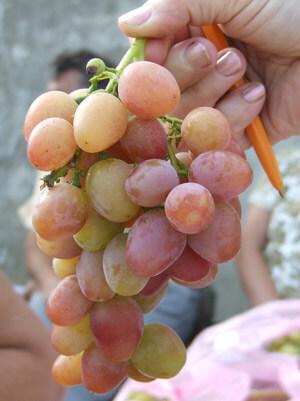 Сорт винограда Азалия