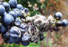 фузариоз винограда