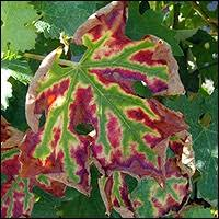 лечение эски винограда