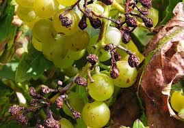 диагностика винограда