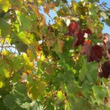 увядание винограда