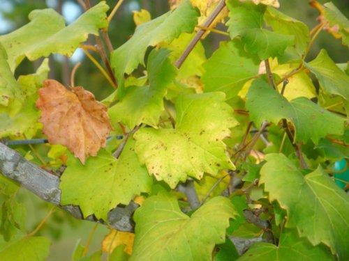калий для винограда