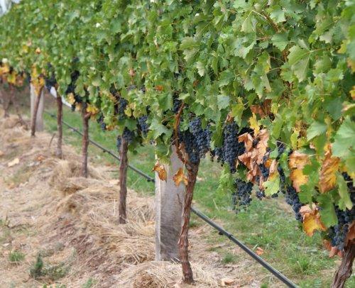 ожоги винограда