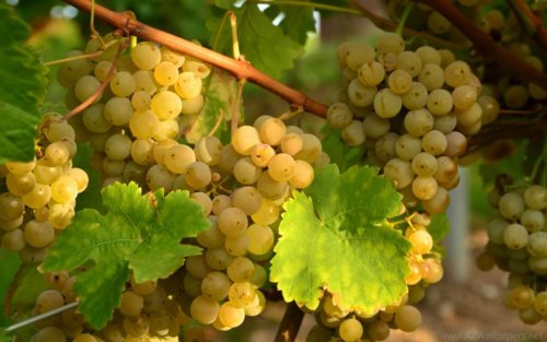 вызревание лозы винограда