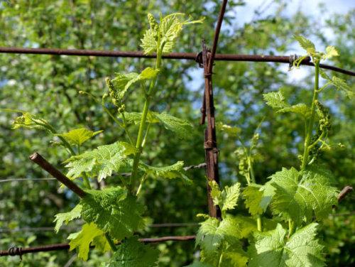 побеги винограда