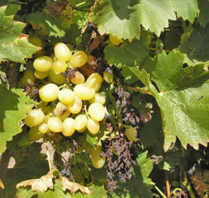 причины усыхания винограда