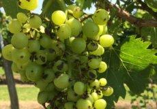 эутипоз винограда