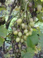 ожог ягод винограда