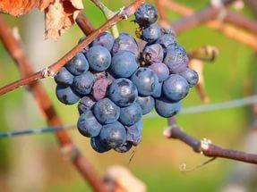 симптомы эутипоза винограда