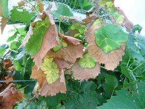 защита винограда от ожогов