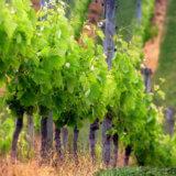 формирование виноградной лозы