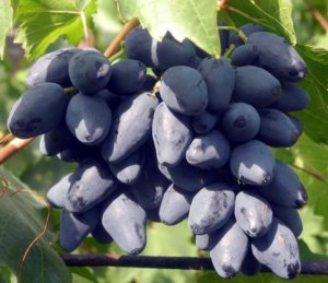 посадка и уход за виноградом ромбик