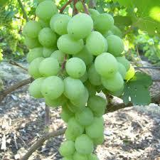 посадка и уход винограда алекса