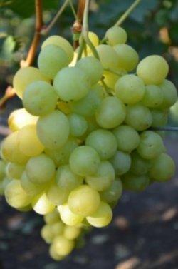 принципы агротехники винограда спонсор