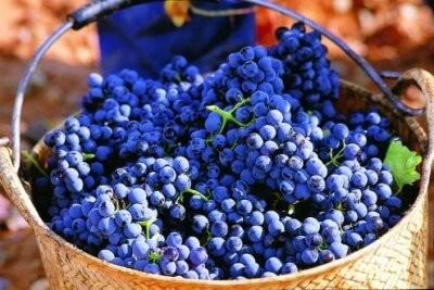 виноград сира, характеристика