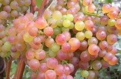 особенности агротехники винограда коринка