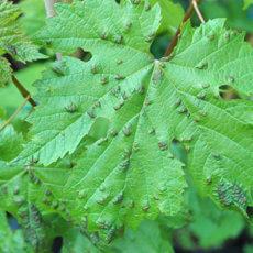 вредители винограда