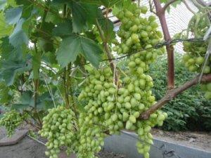 посадка винограда в сибири