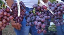 уход за виноградом эверест