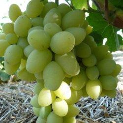 агротехника винограда продюсер