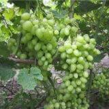 виноград продюсер
