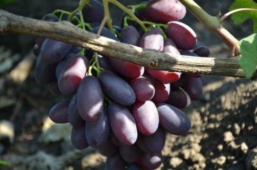 характеристика винограда каталония