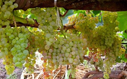 виноград коринка