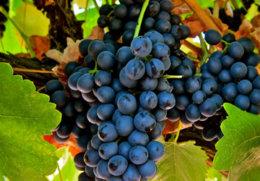 биологические характеристика винограда сира