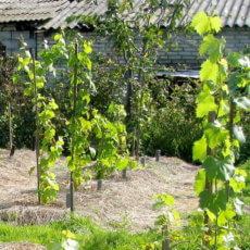 выращивание лозы винограда