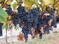 характеристика винограда карменер