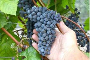 Сорт винограда амурский прорыв один