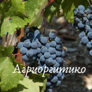 агриоргитико винный виноград
