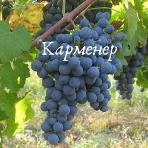 винный виноград карменер