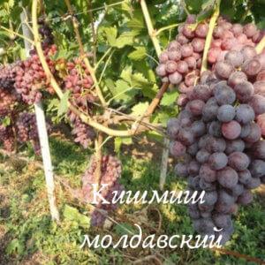 сорт кишмиш молдавский