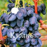 сорт винограда кубань